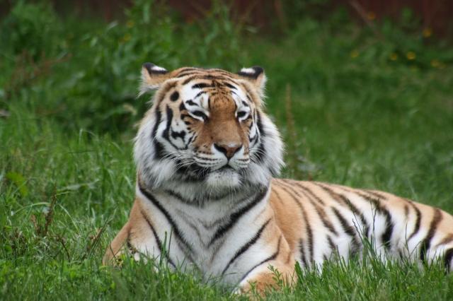 bizwebsolutions Tiger